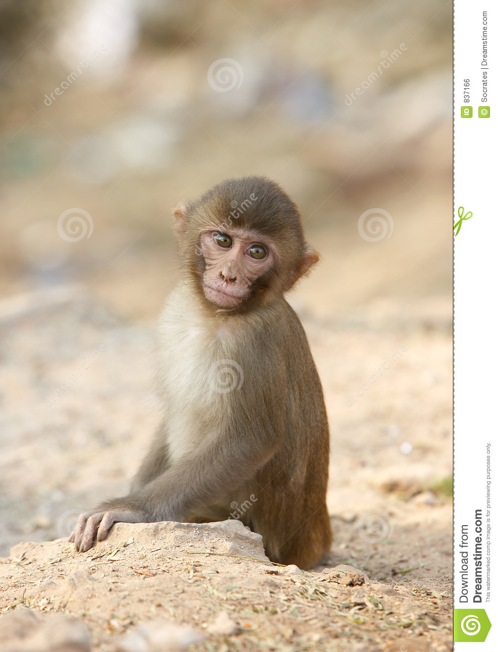 Indian Monkey Images Young Indian monkey st...