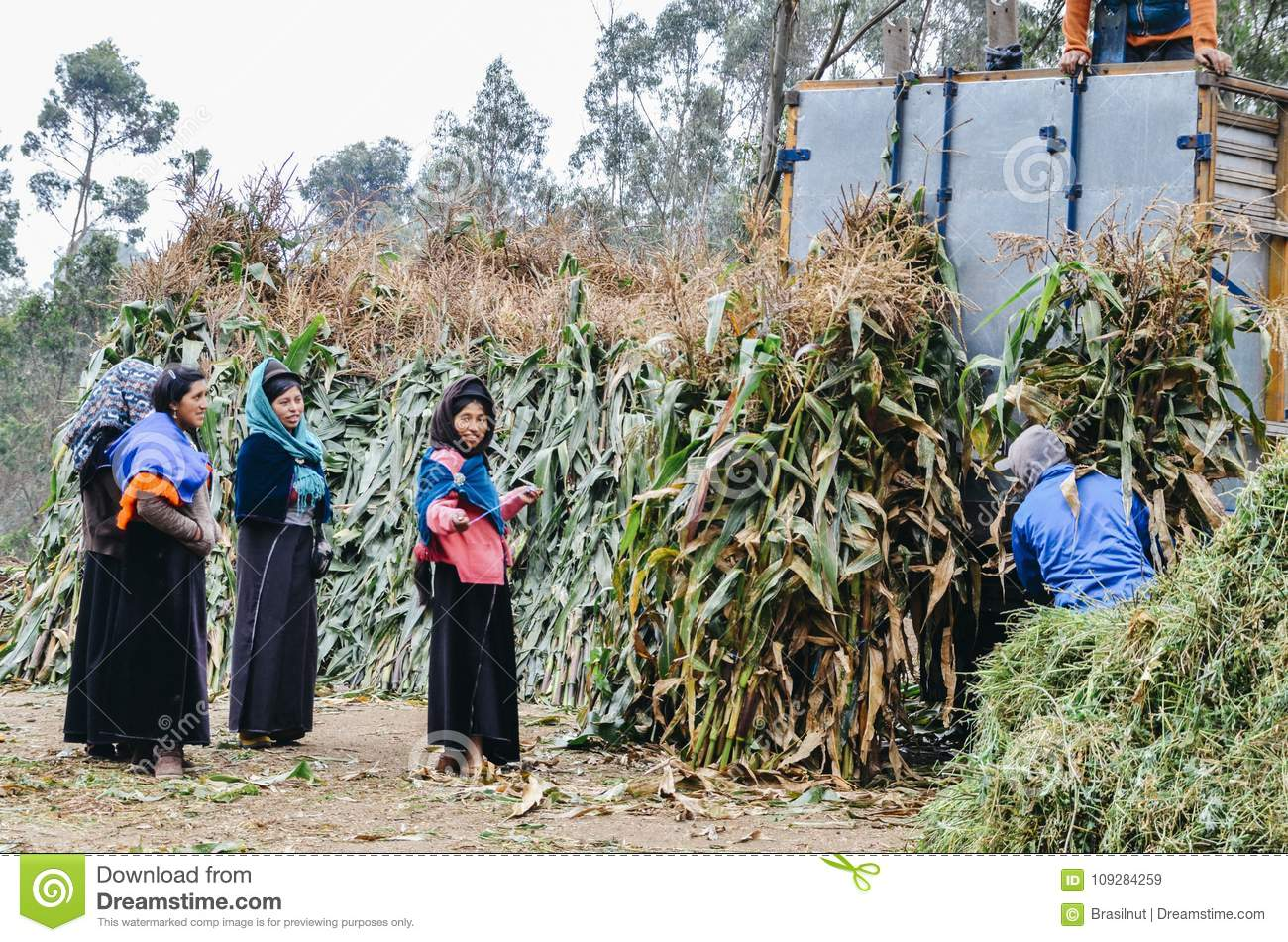 Young indigenous women collecting raw sugar cane plants from a plantation to sell in the market