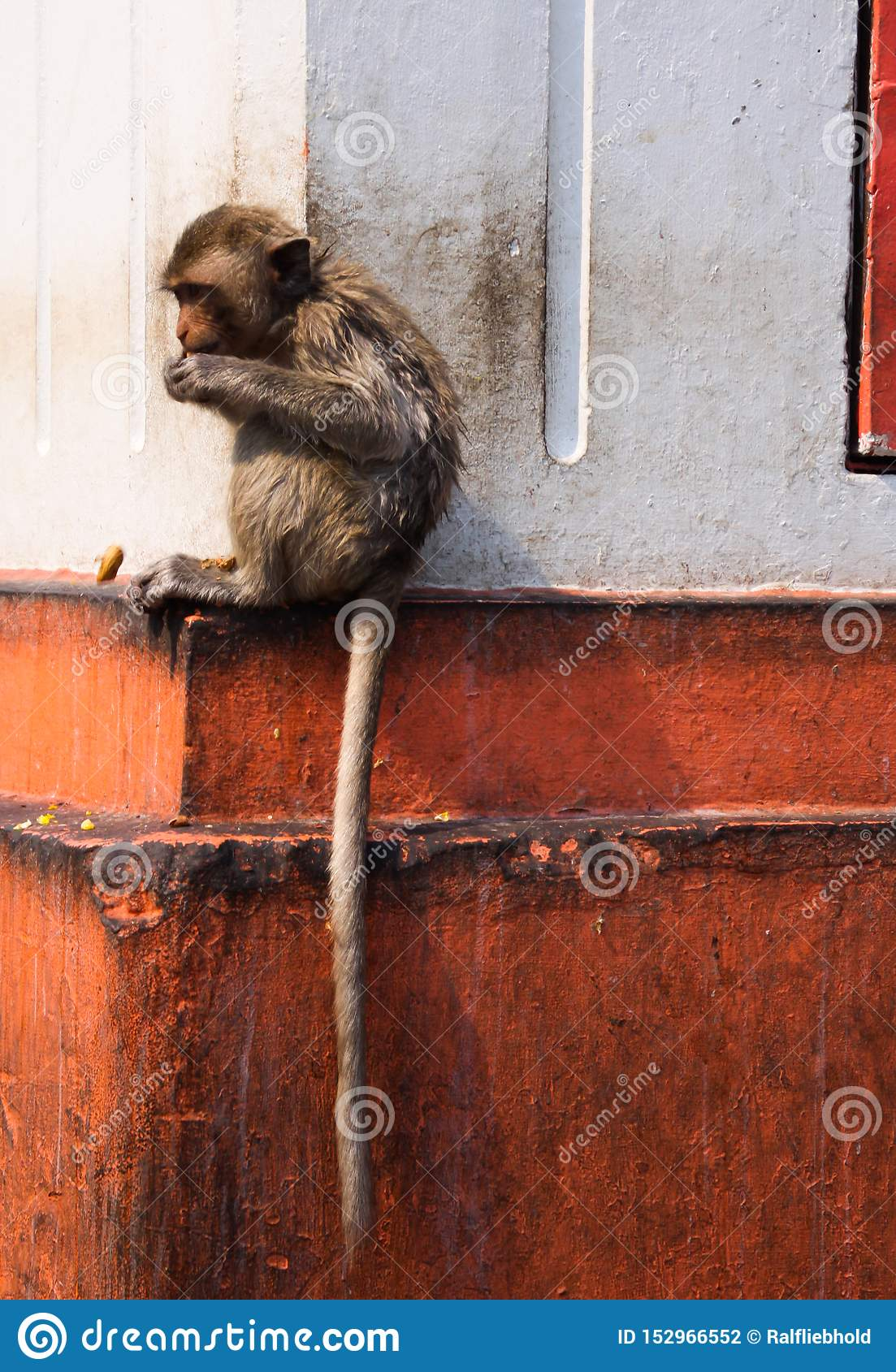 Young isolated monkey crab eating macaque, Macaca fascicularis with long tail sitting on a jut of a house wall in Lopburi,