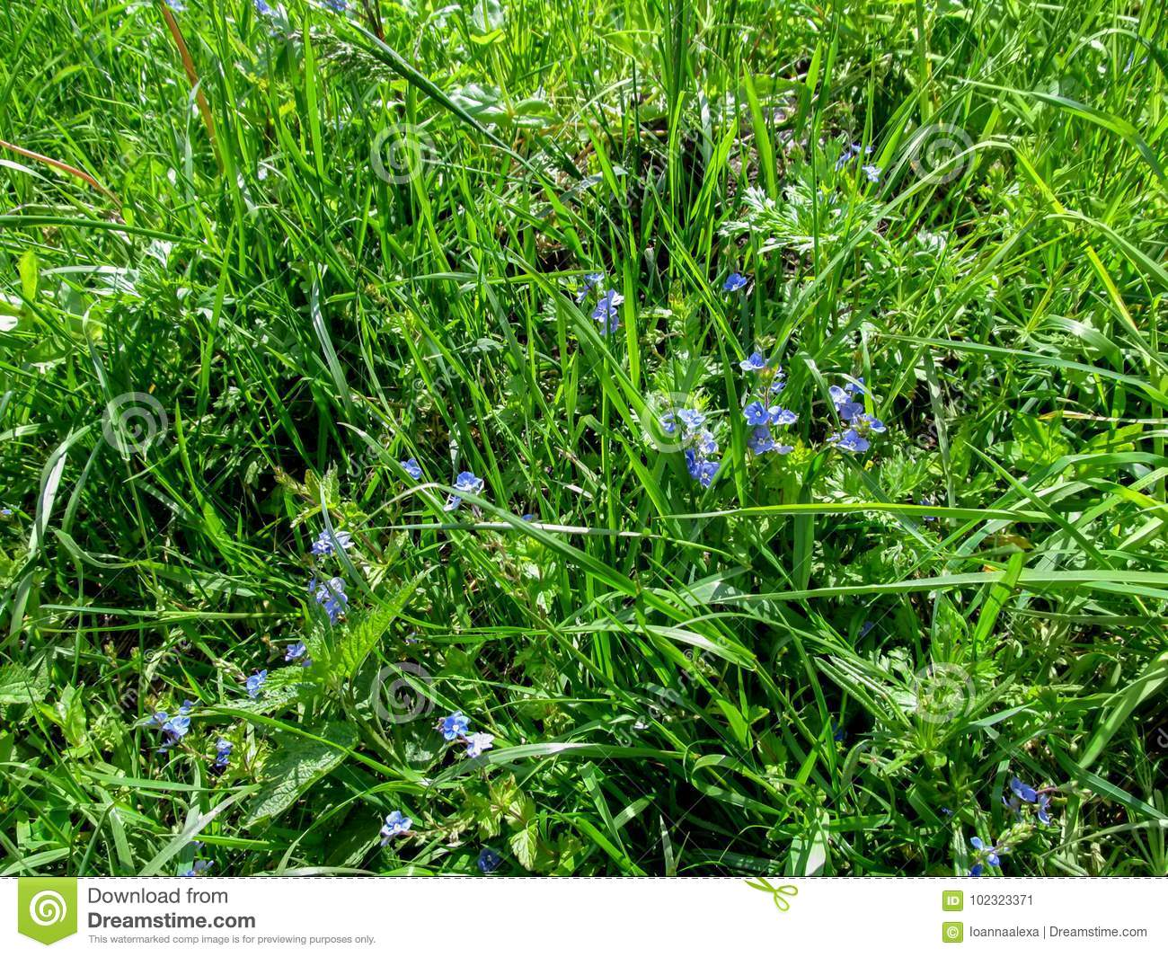 Young Juicy Meadow Grass With Small Blue Flowers In Spring Or Early
