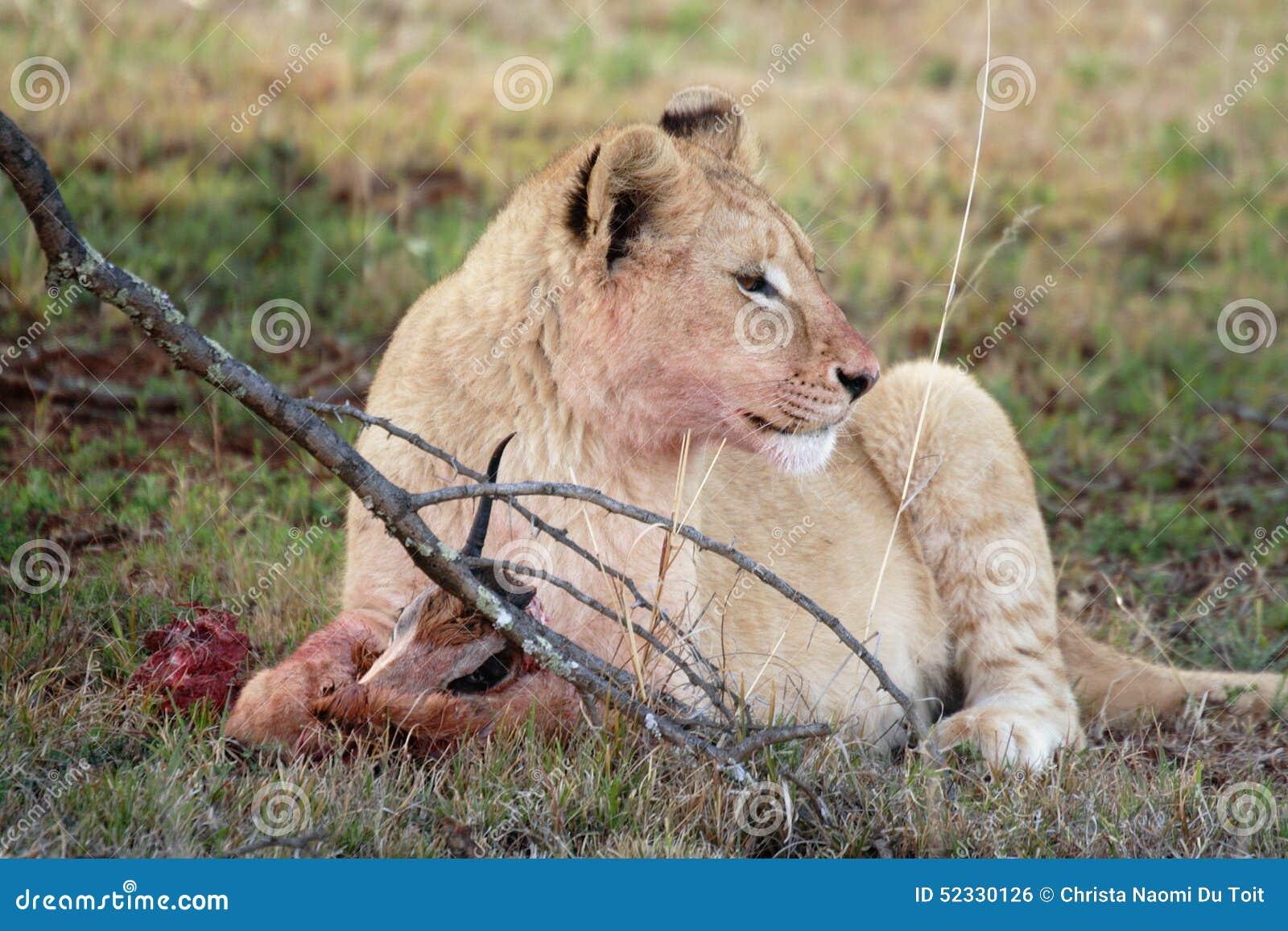 Young juvenile male lion
