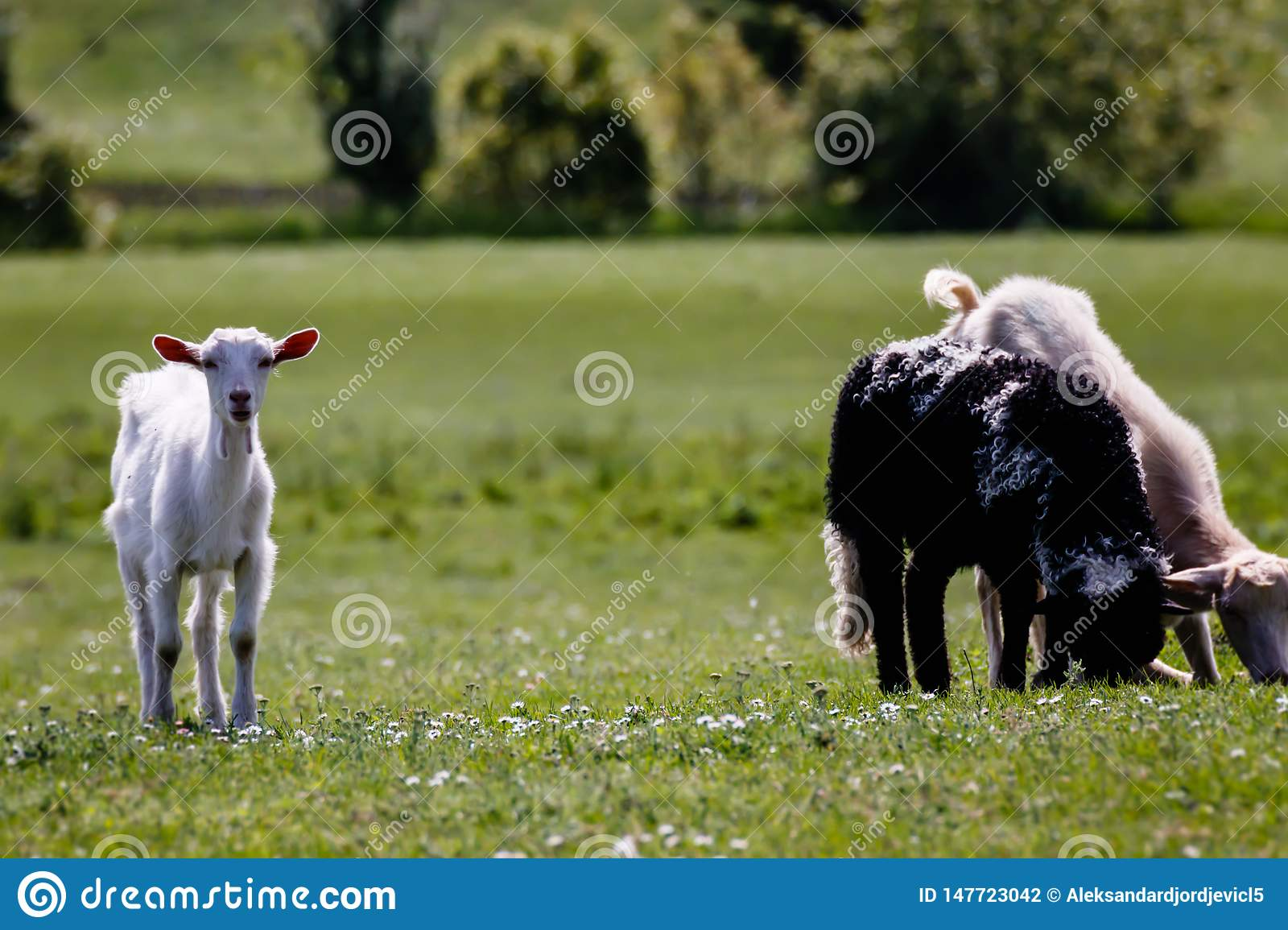 Young kid goat at the meadow with friends, cute goatling