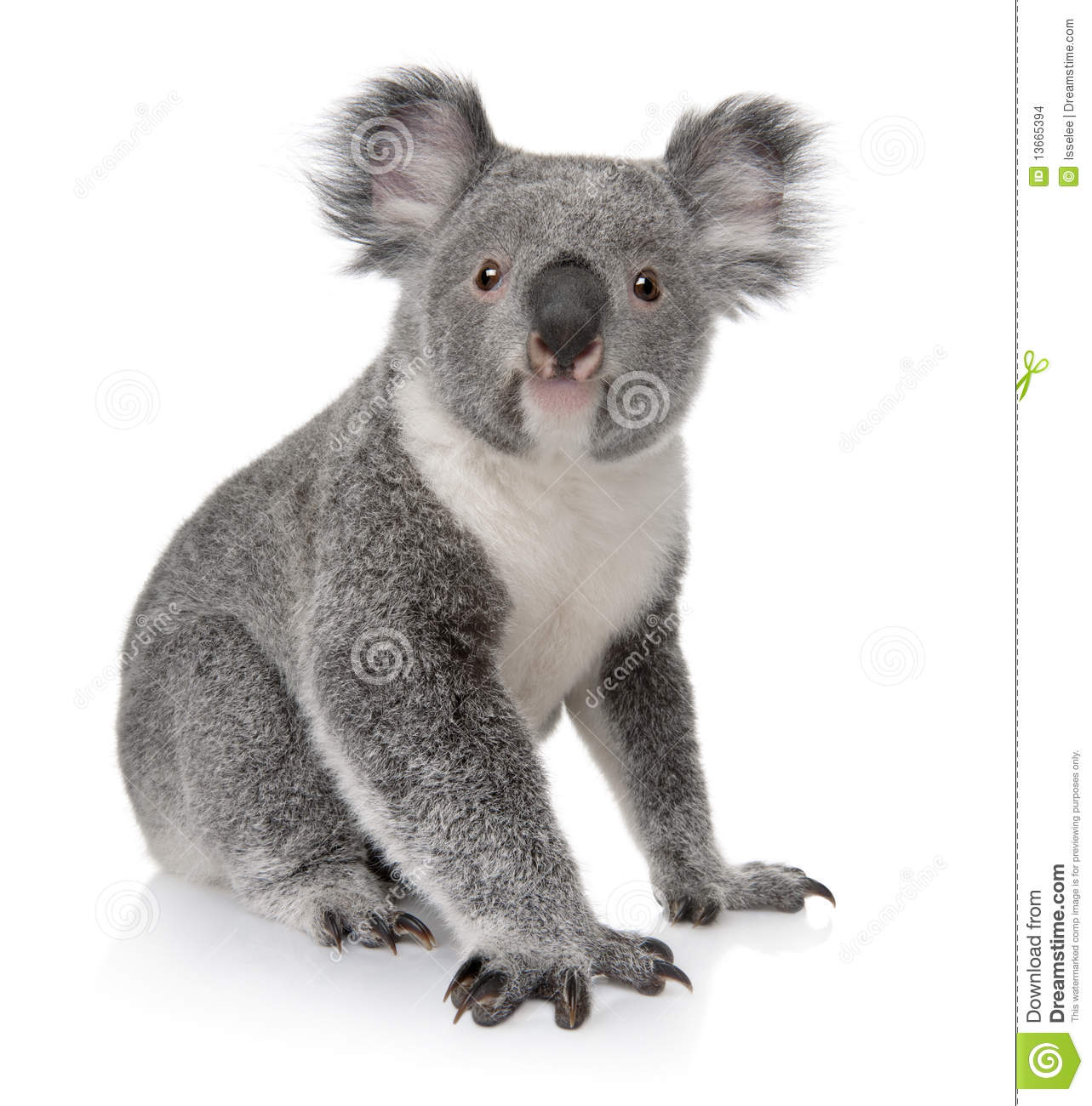 Young koala, Phascolarctos cinereus, 14 months old, sitting in front ...