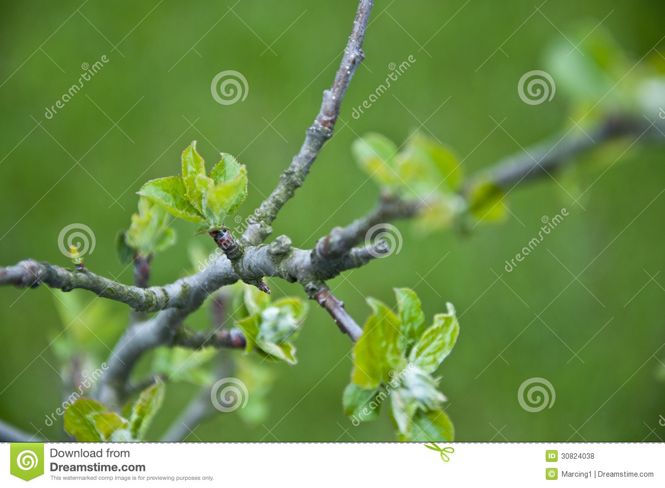 Young Leafs On An Apple-tree Branch Stock Photo - Image ...