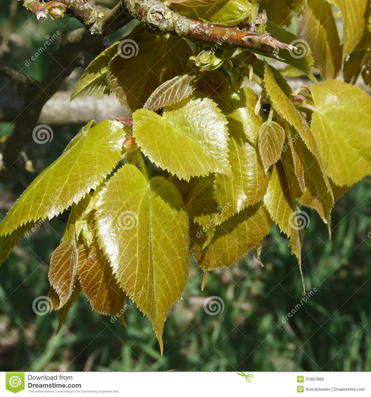 Young Leaves Of Beech In Spring, Fagus Sylvatica Stock Photo - Image
