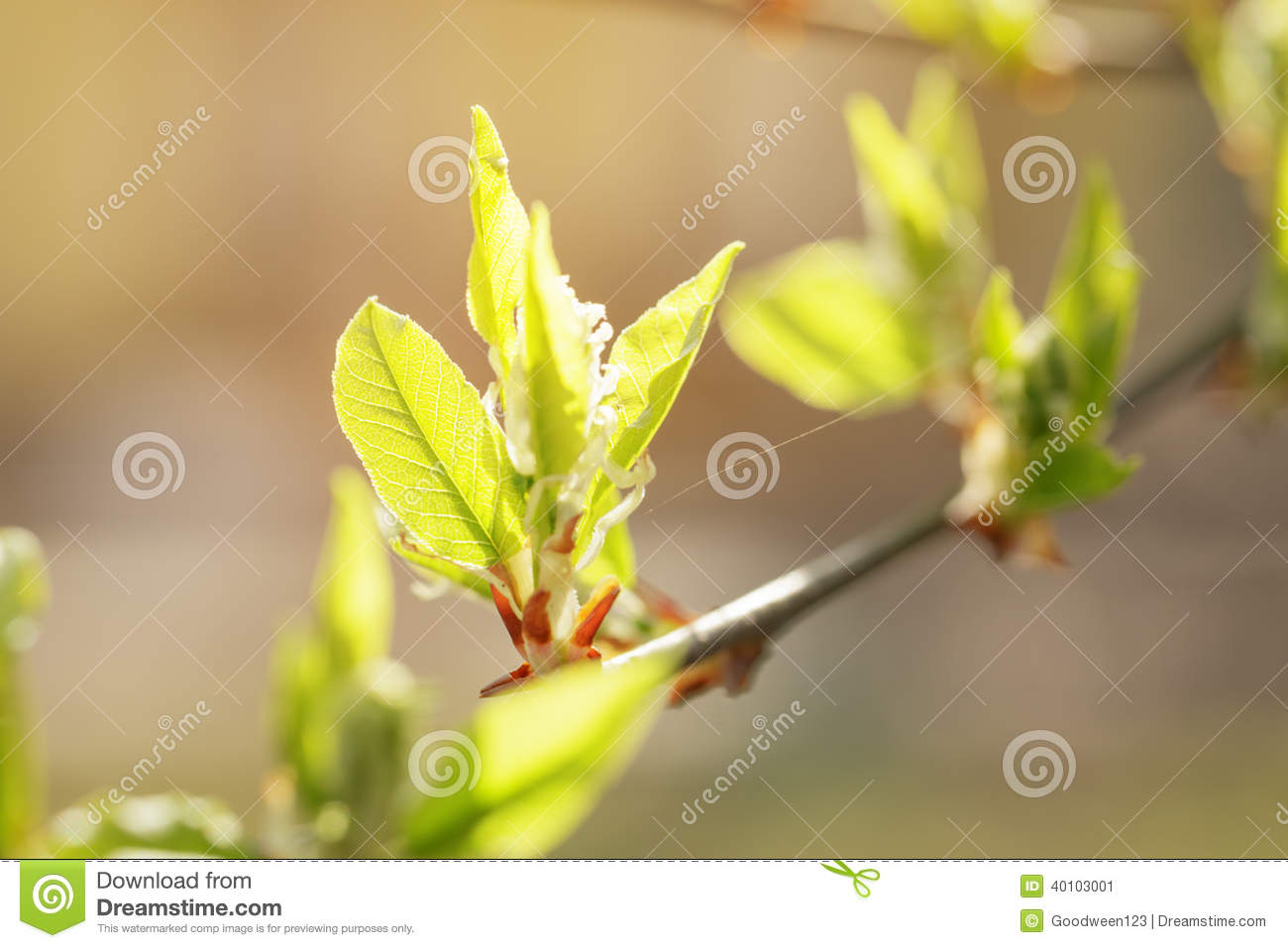 Stock Photo: Young leaves of cherry-bird tree in spring morning