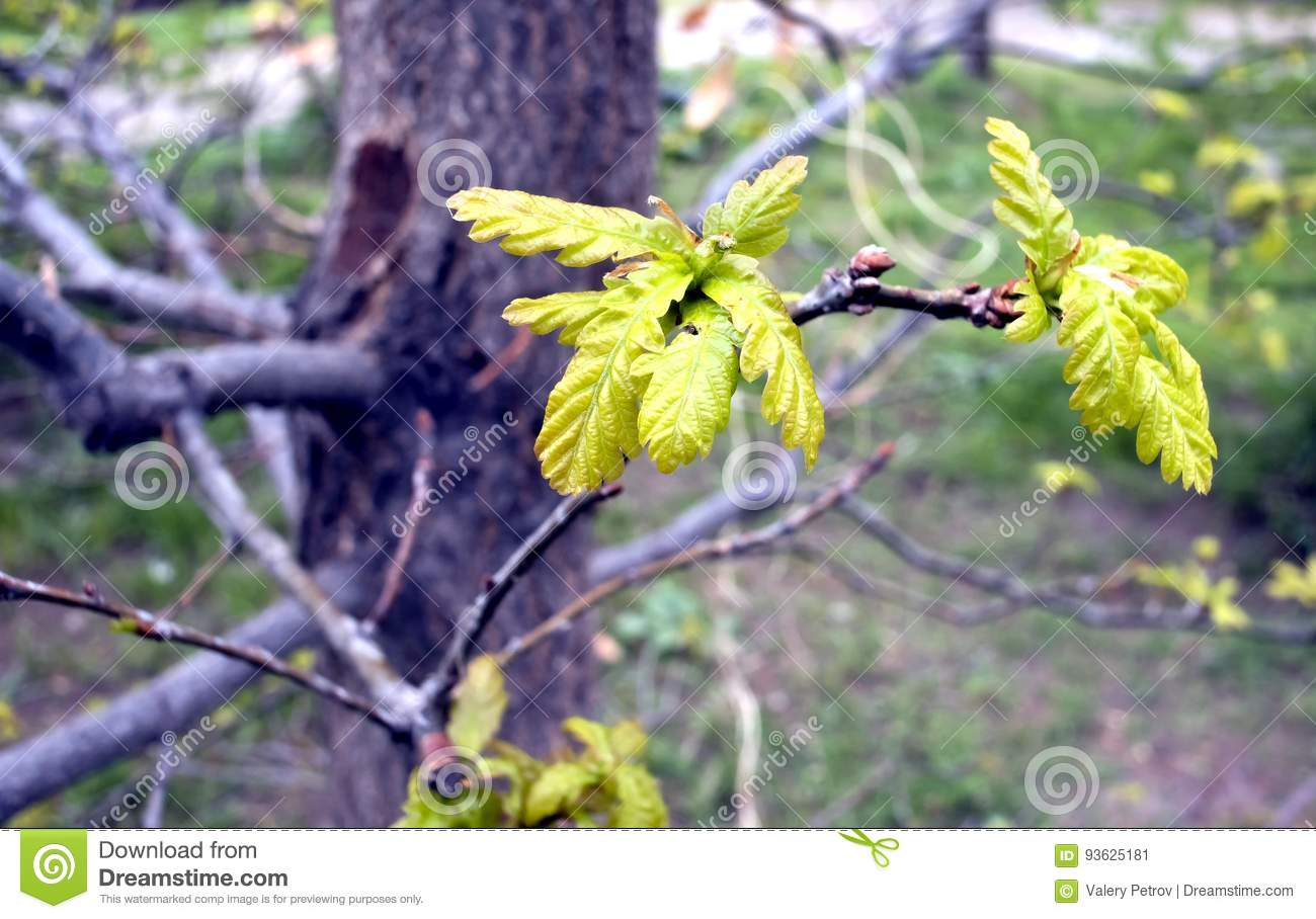 The young leaves of oak