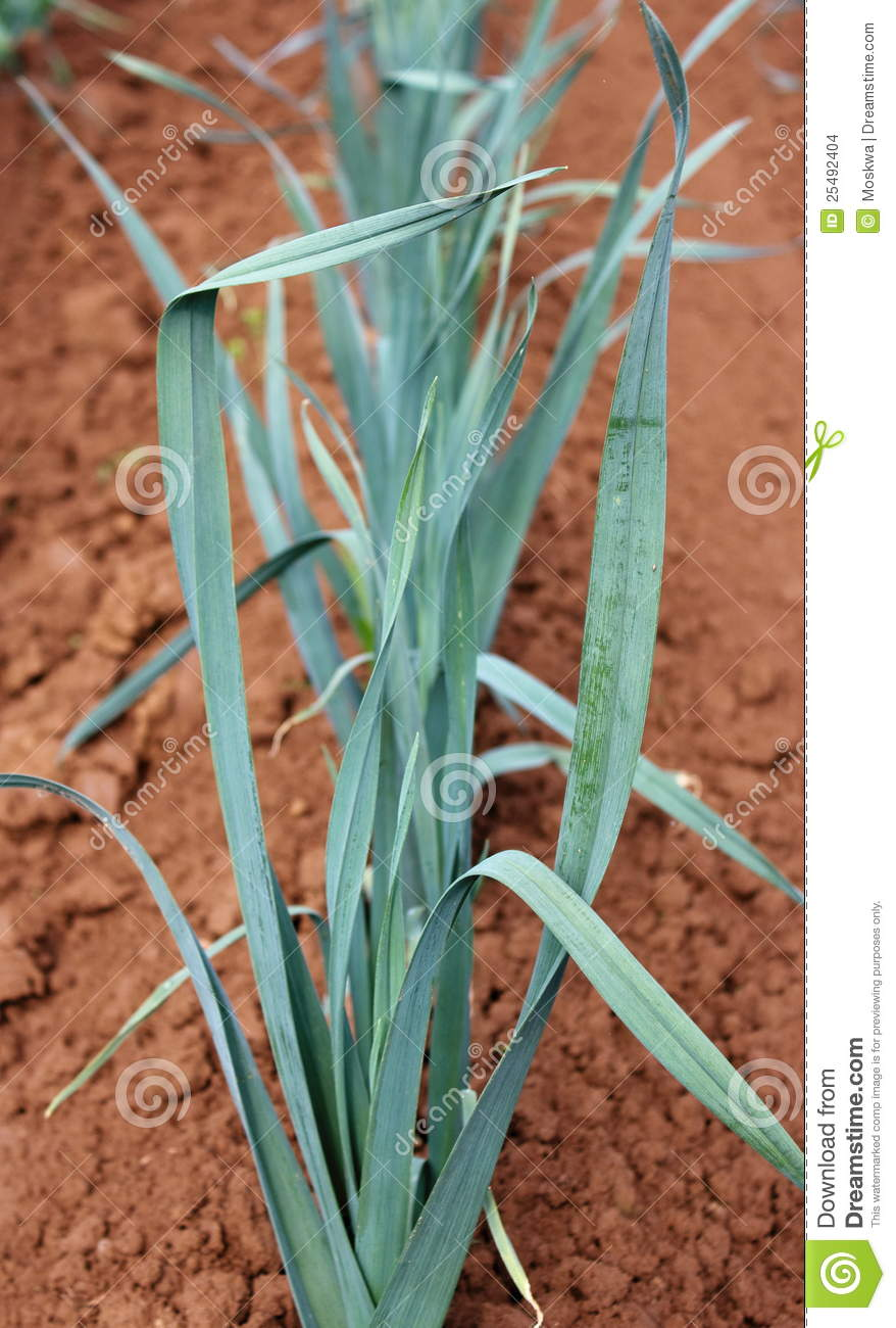 Young leek in the ground stock images image 25492404 for Soil young s modulus