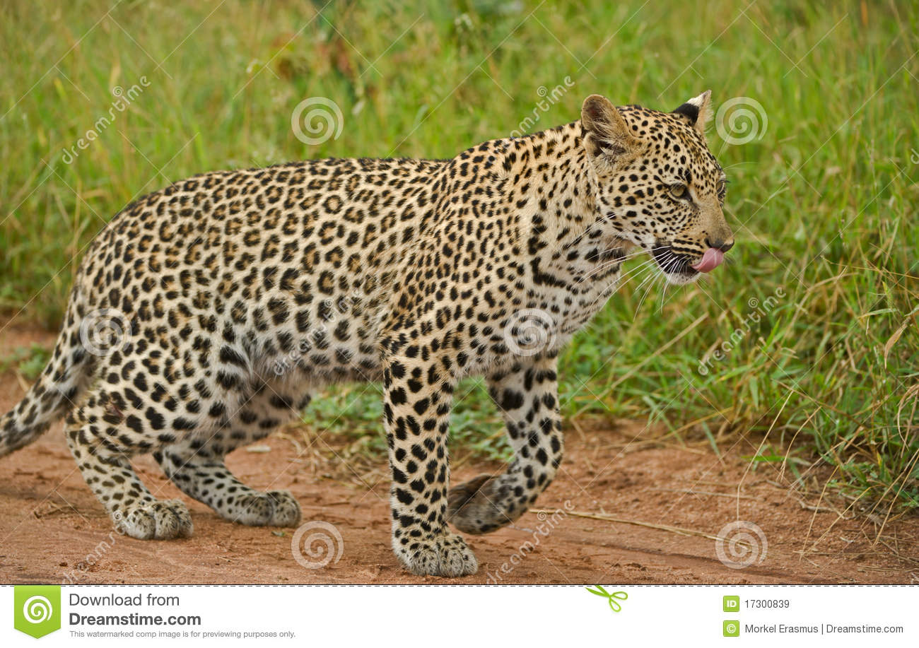 young leopard in the african wilderness royalty free stock images