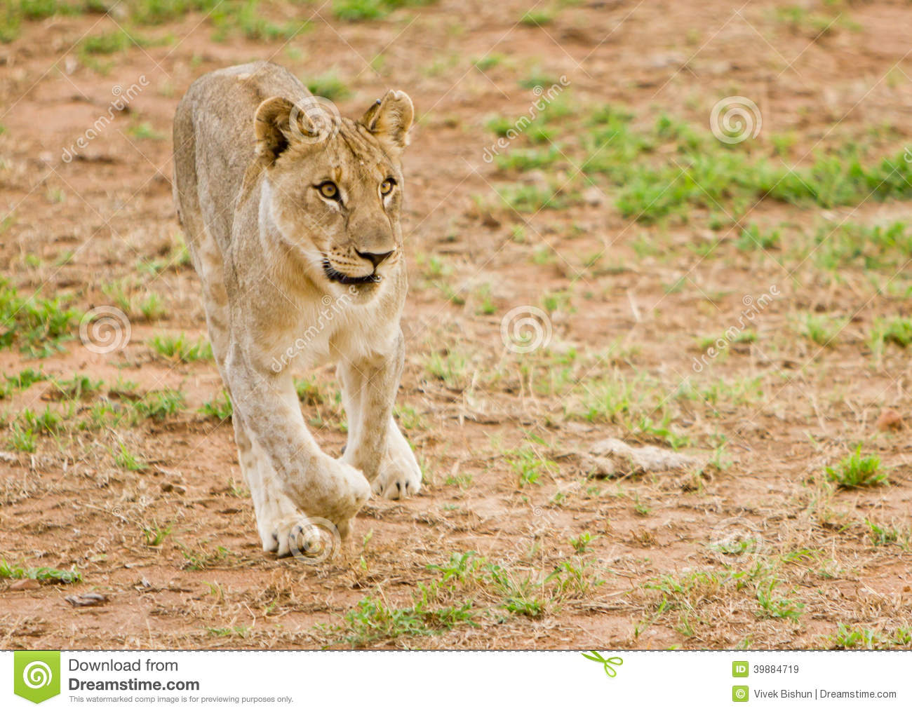 Young lion on the run