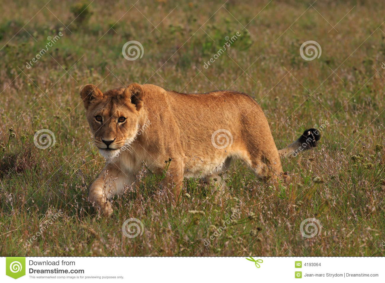 Male lion stalking prey - photo#10