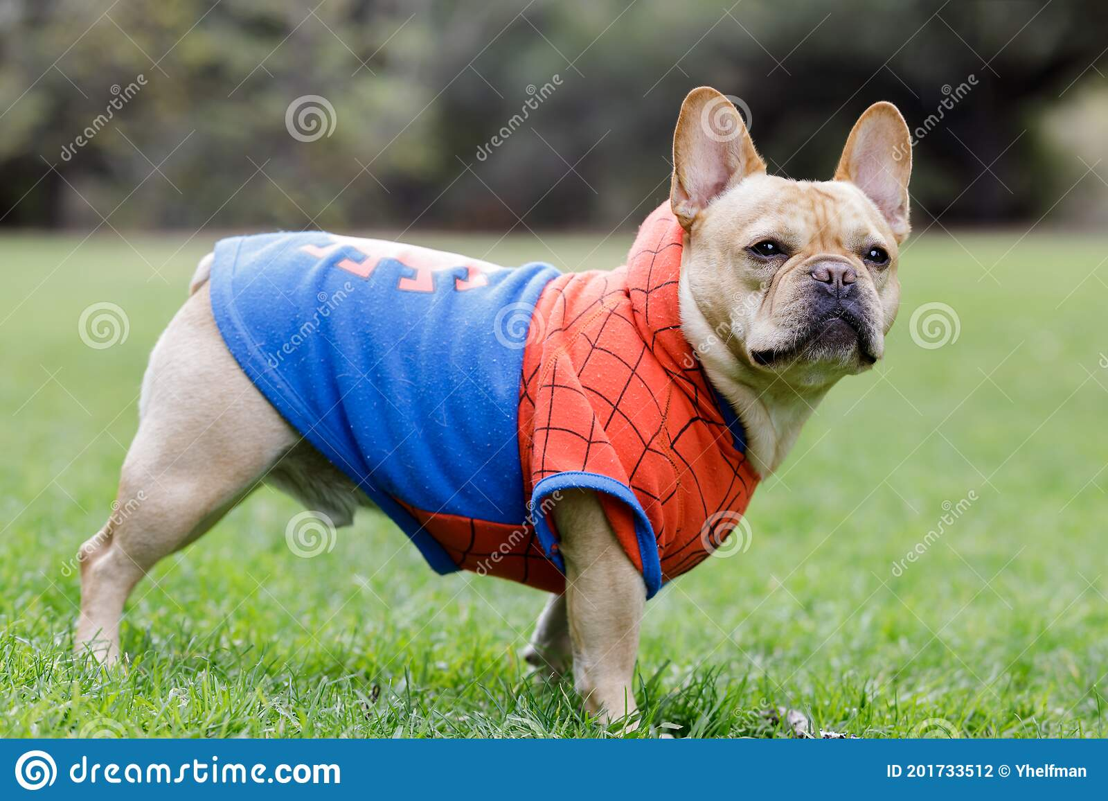 Young Male French Bulldog Dressed Up As Spider Man Stock Photo Image Of Background Leash 201733512