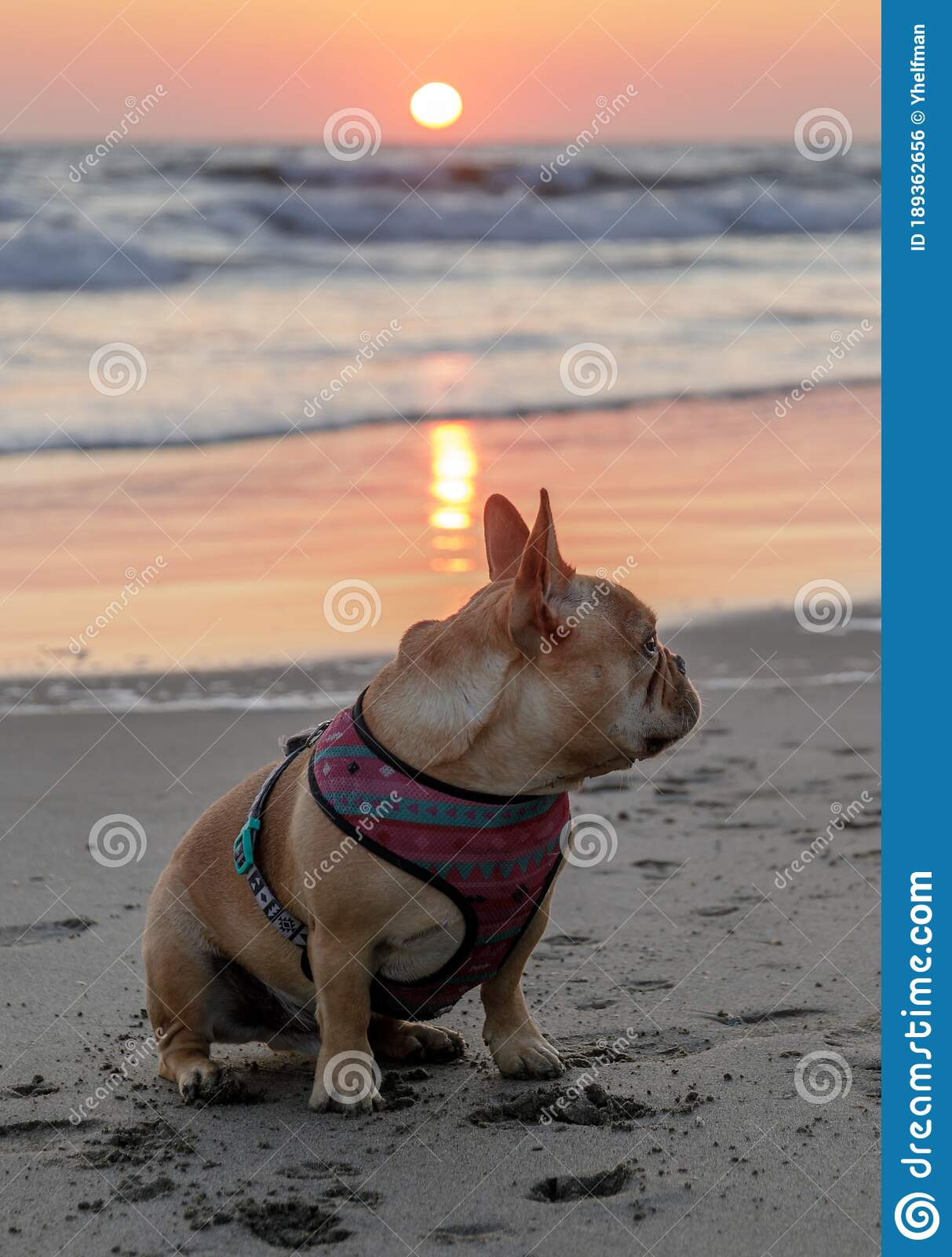 Katiedid Curiouser And Curiouser The San Francisco: Young Male Frenchie At The Beach Stock Photo