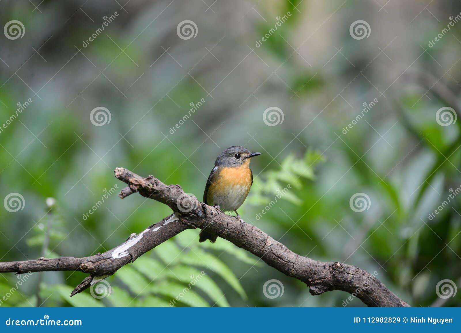 Hill Blue Flycatcher young male, Wild bird in Vietnam
