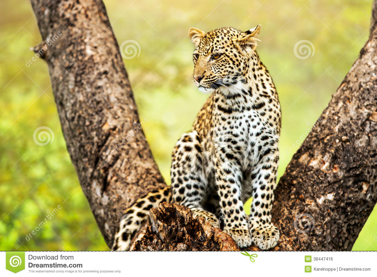 young male leopard in tree  royalty free stock image
