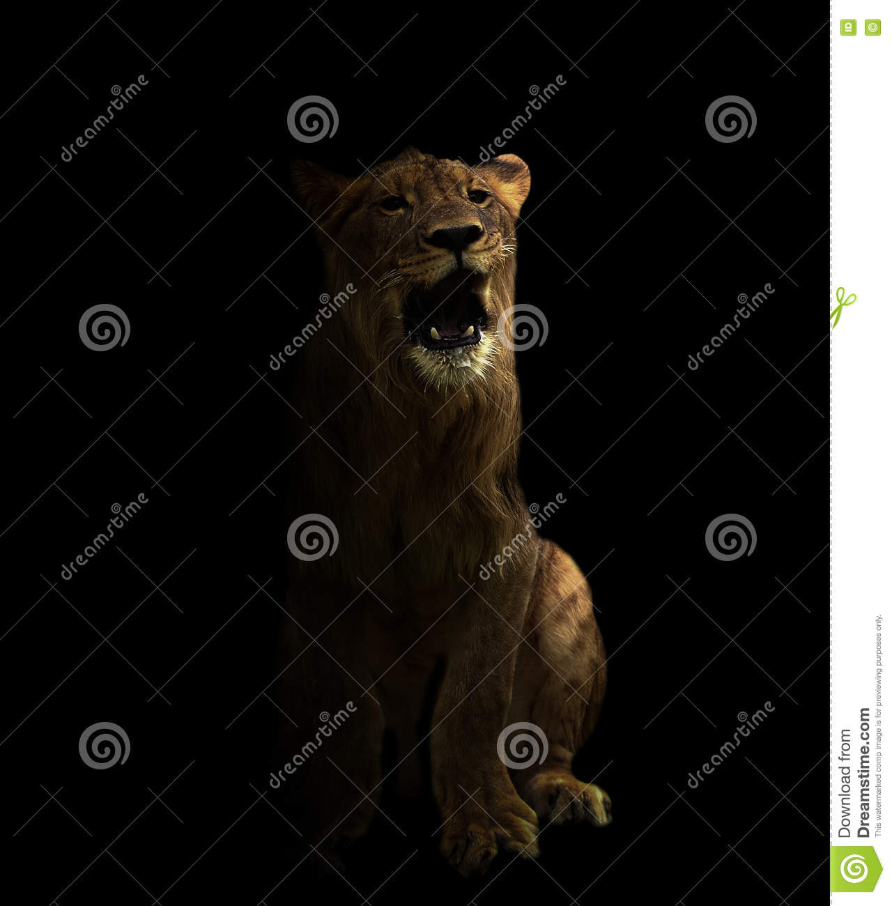 Young Male Lion In The Dark