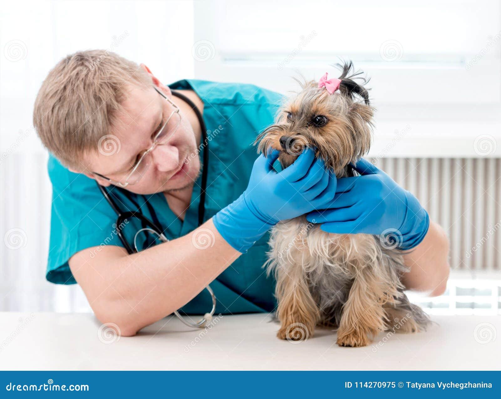 Veterinarian checking dog`s teeth at clinic