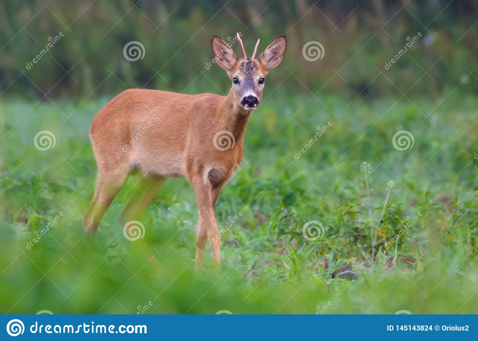 Young Male Roe deer looks with interest on green grass meadow in early summer day