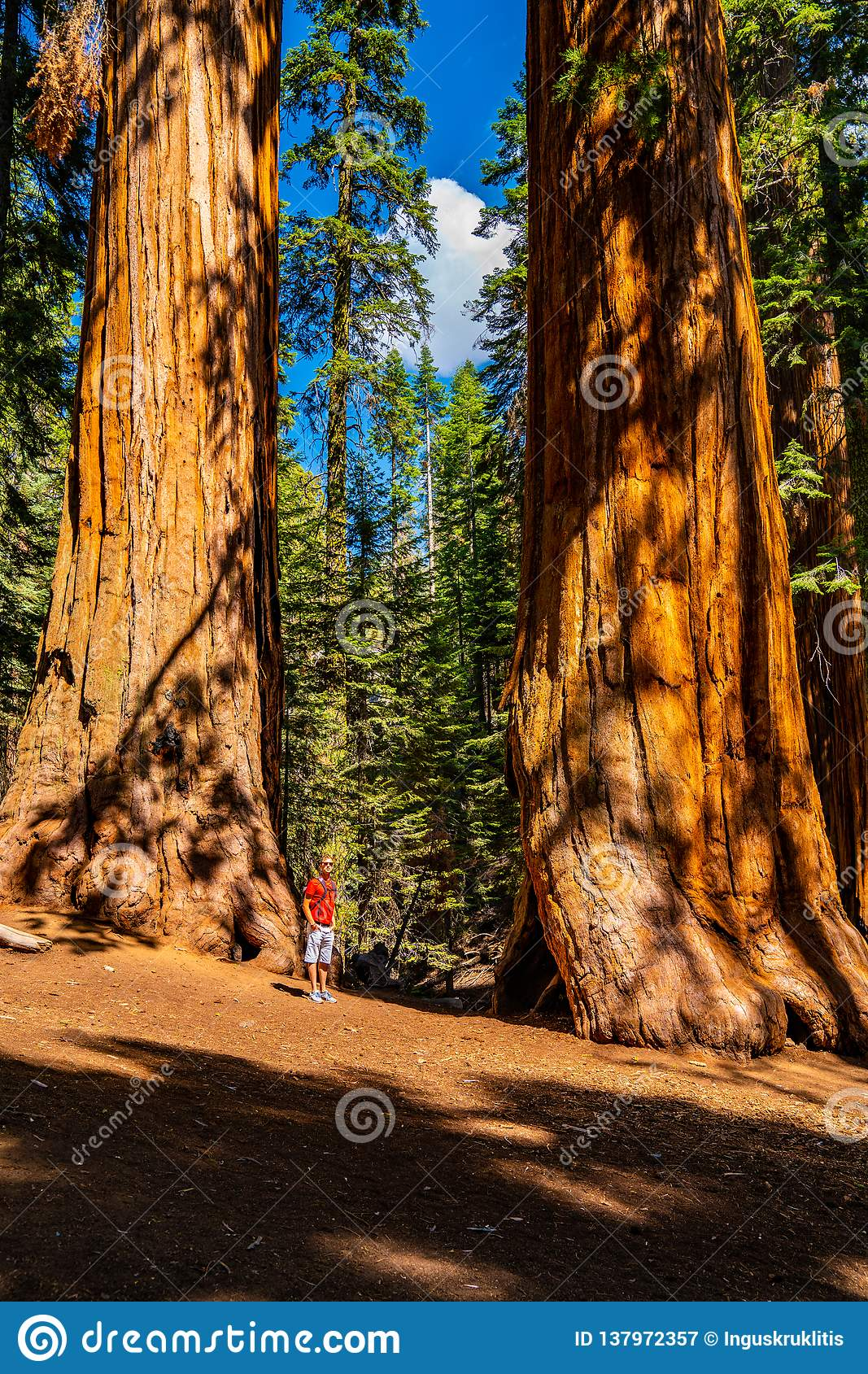 Young man standing by the huge sequoia tree in the Sequoia National Park.
