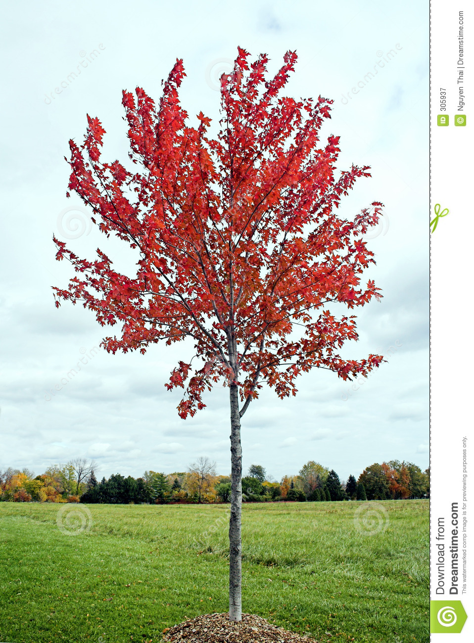 Young Maple Tree Stock Image Image Of Meadow Dull