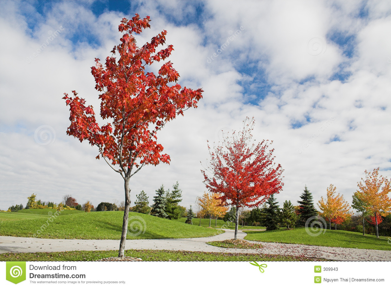 Young Maple Trees In Autumn Stock Photos Image 309943