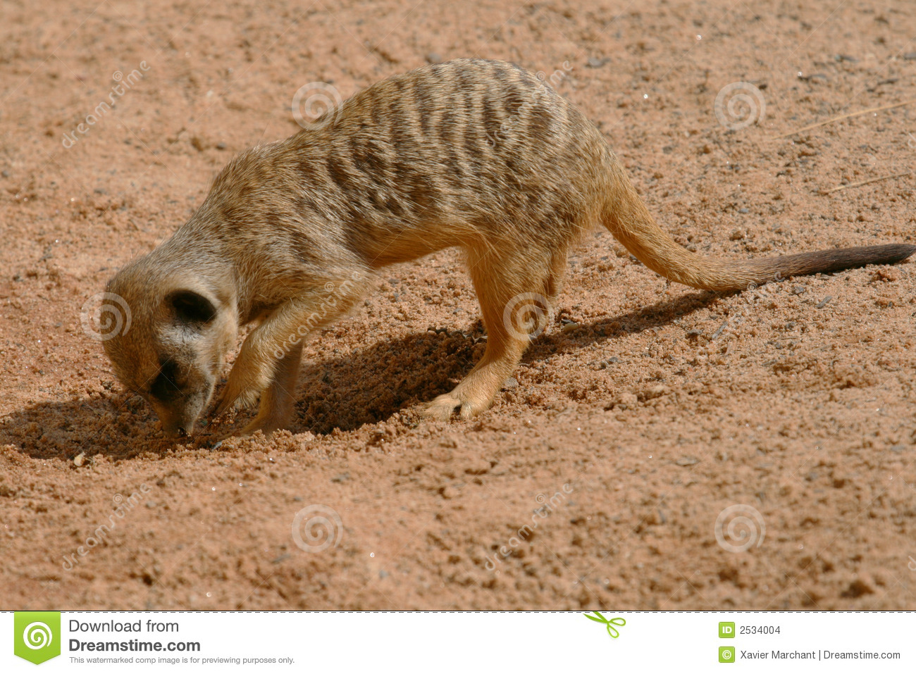 Young meerkat digging stock photo image of close for Digging ground dream meaning
