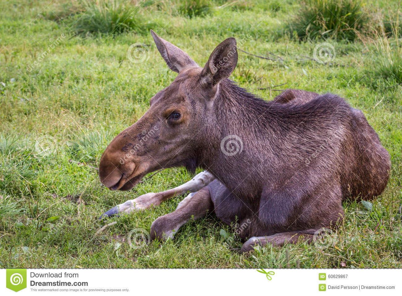 small moose stock photos images u0026 pictures 178 images