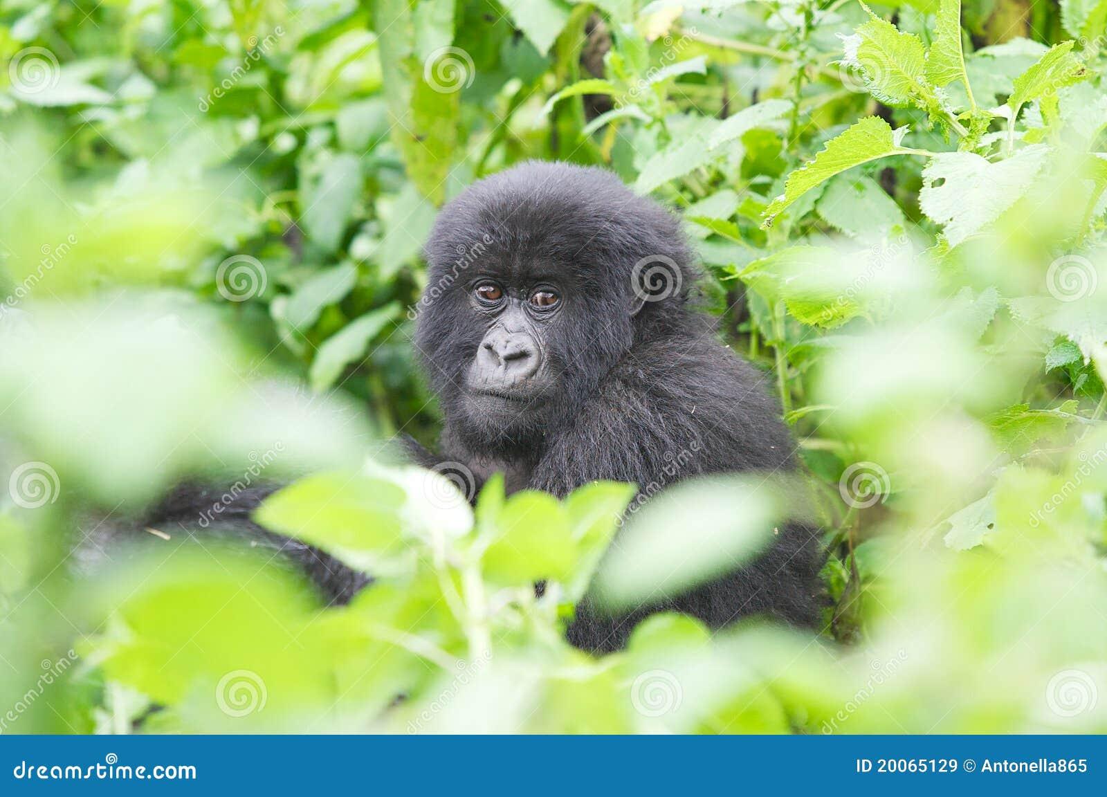 Young mountain gorilla