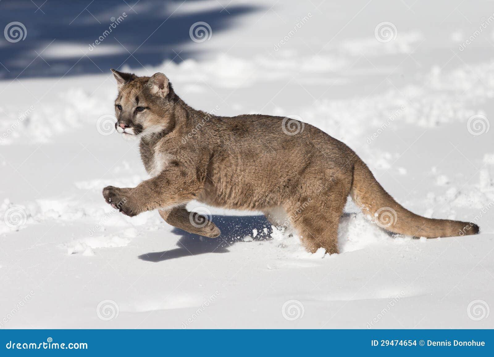 7255d6800bb9 Mountain lion or Puma walking in sagebrush in rocky mountains