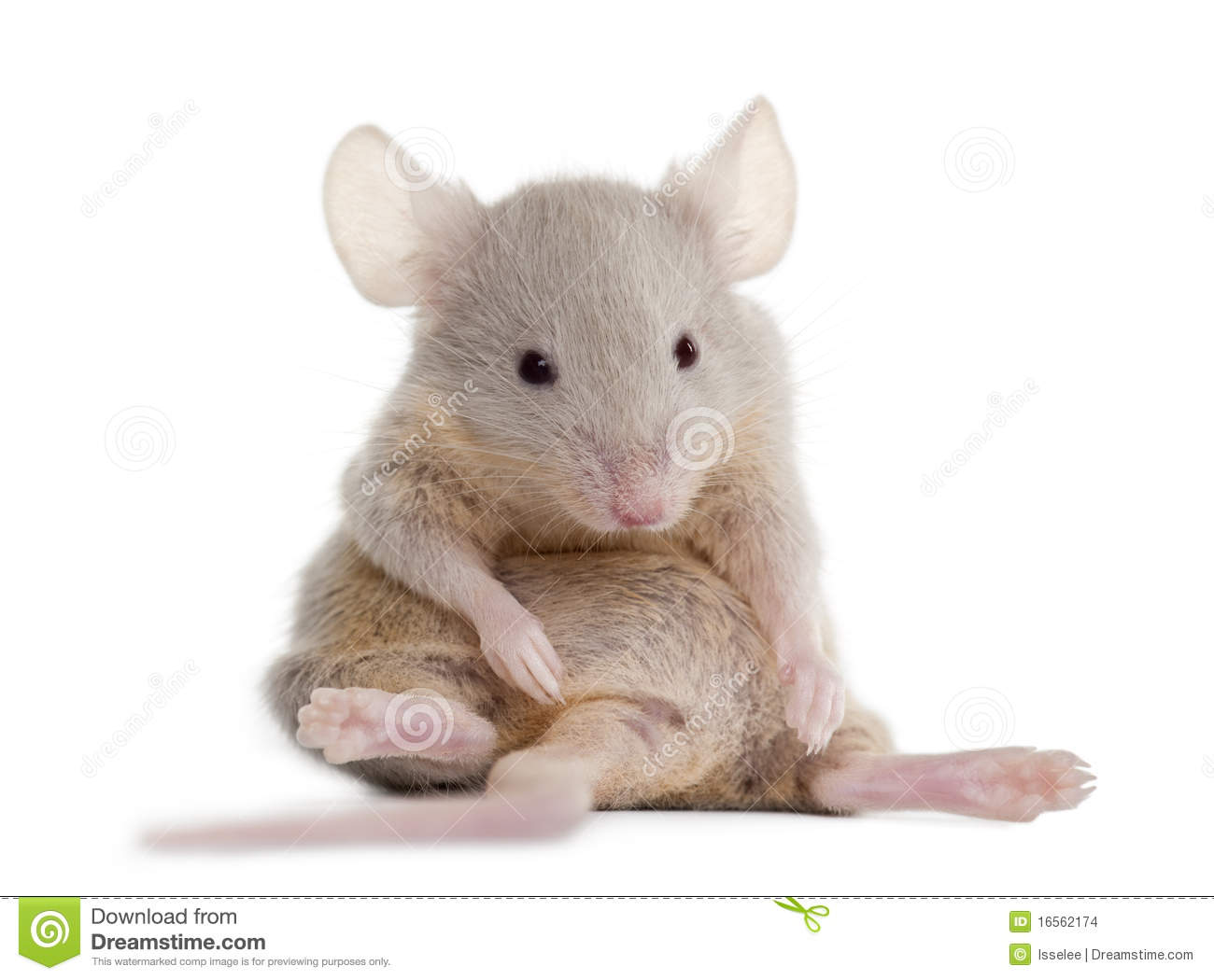 Young Mouse Sitting Stock Photo Image Of Looking Themes