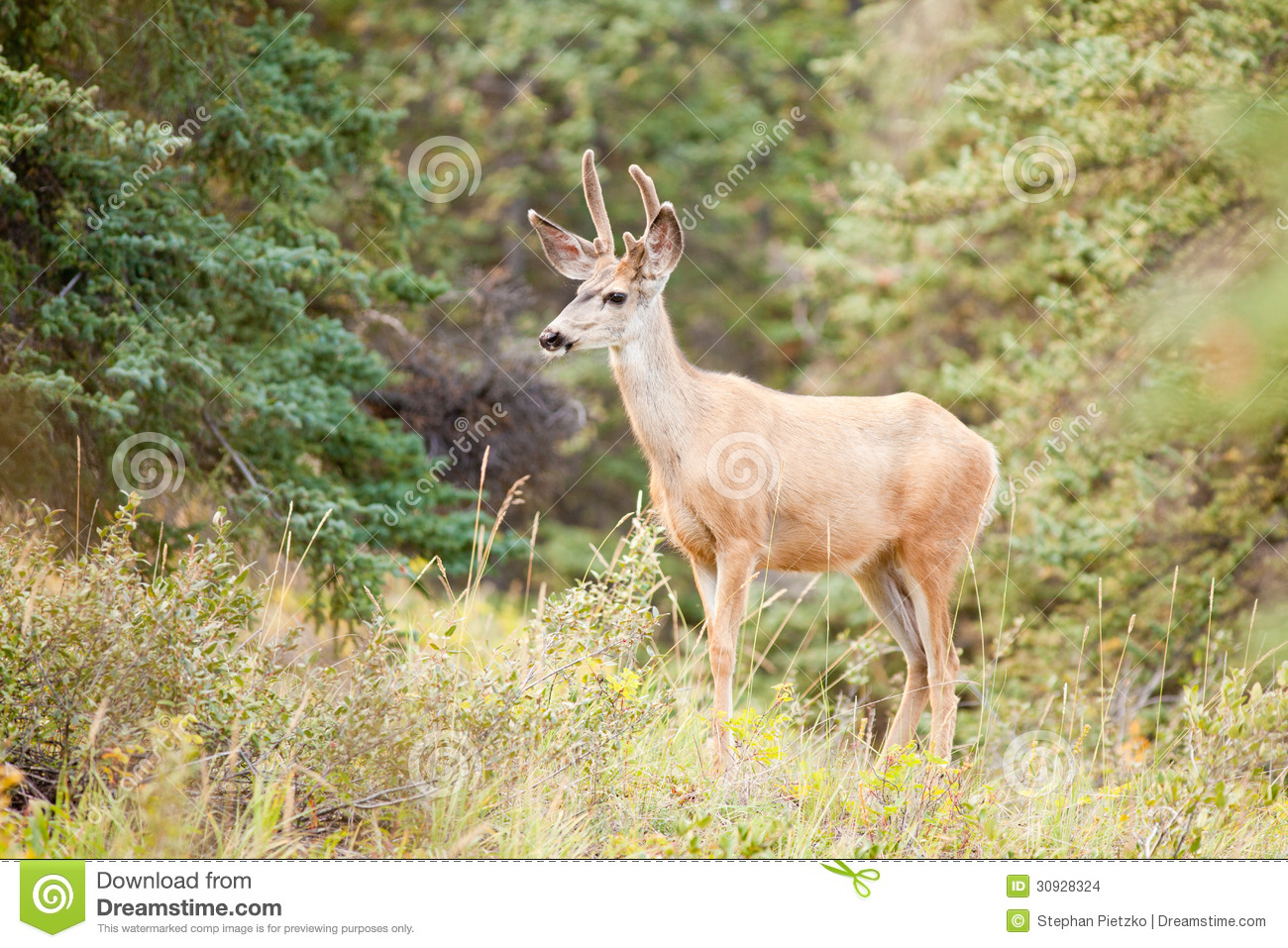 Young Mule Deer Buck With Velvet Antlers In Taiga Stock Images - Image ...
