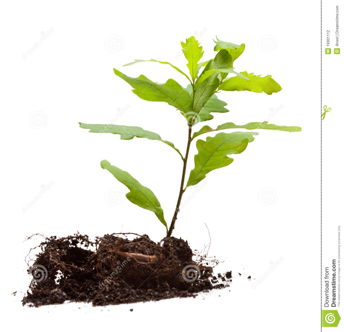 Oak tree sapling stock photos images & pictures 256 images