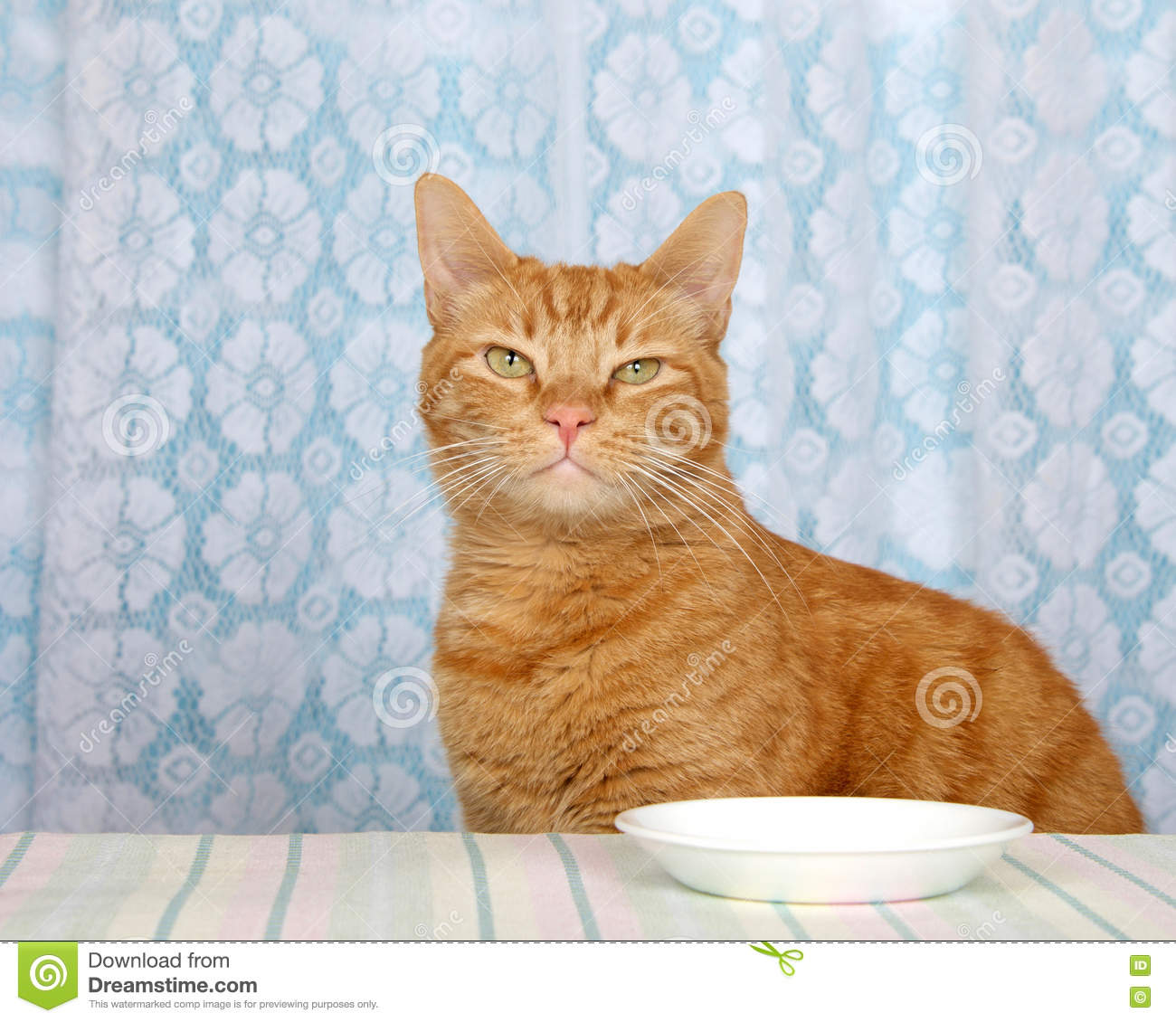 Young Orange Tabby Cat Sitting At Kitchen Counter With
