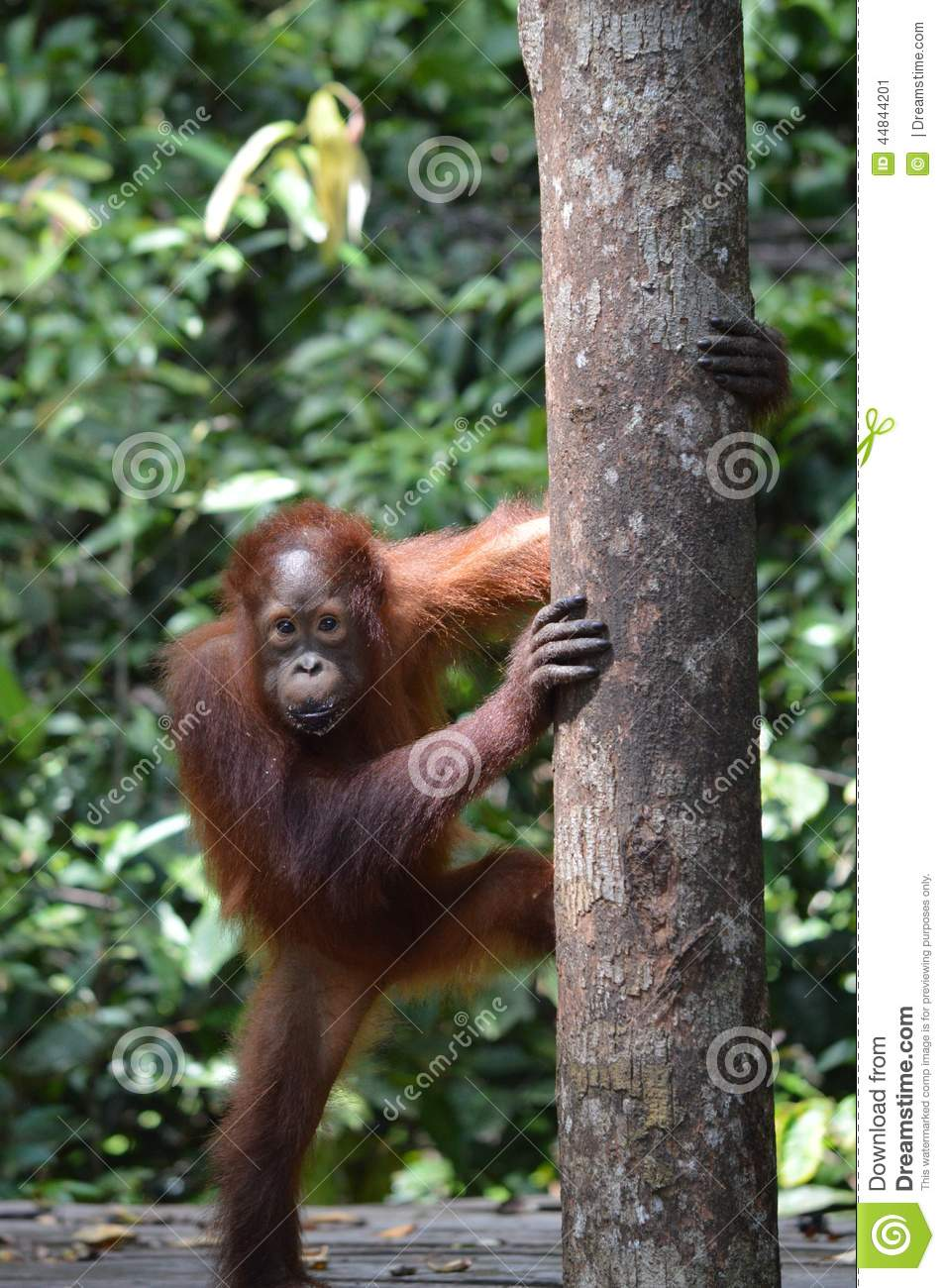 Download Young Orangutan stock image. Image of park, male, indonesia - 44844201