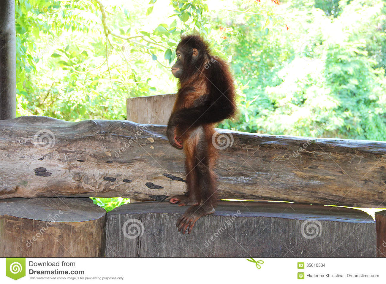Young orangutan standing on a wooden bench in the profile. Picture taken in a zoo on the island of Bali