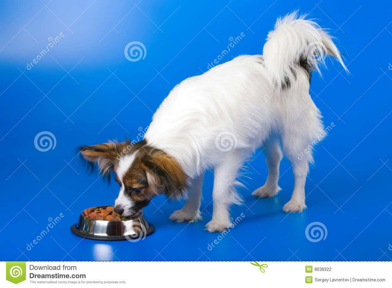 Download Young papillon stock photo. Image of feeding, blue, domestic - 8638322