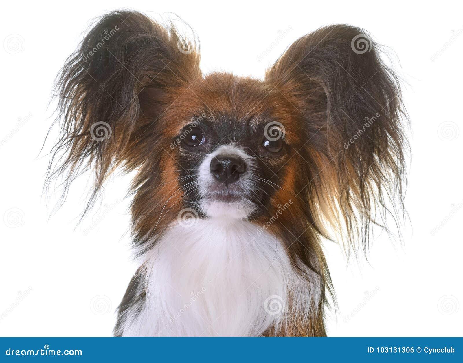 Young papillon dog