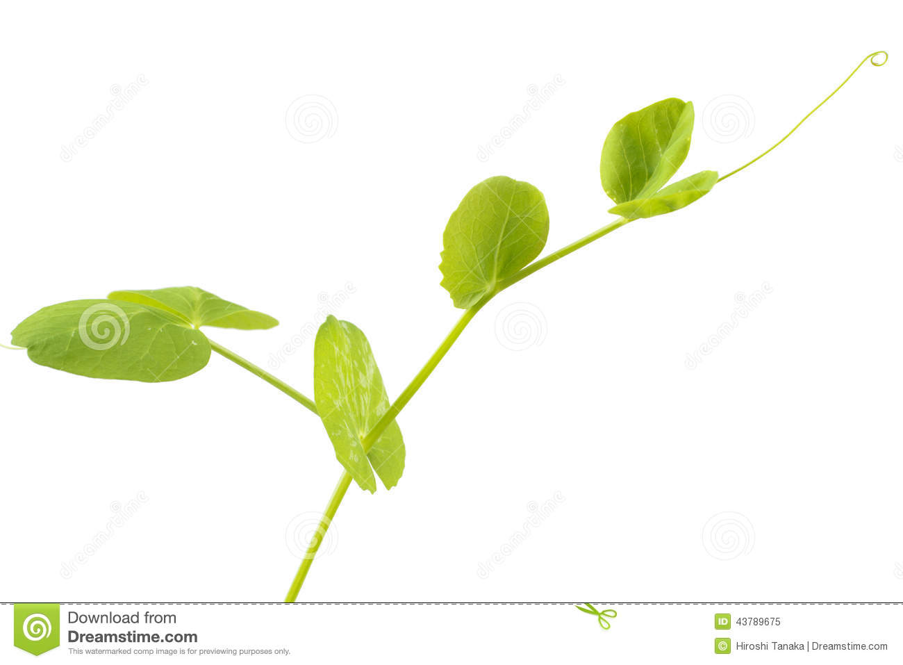 pea plant growth Dry peas or field peas (var arvense): you allow these to mature and harden, then dry, store and cook for soups and other dishes look for different maturity dates and heights some bush varieties grow just 1 to 2 feet tall and need little or no support.