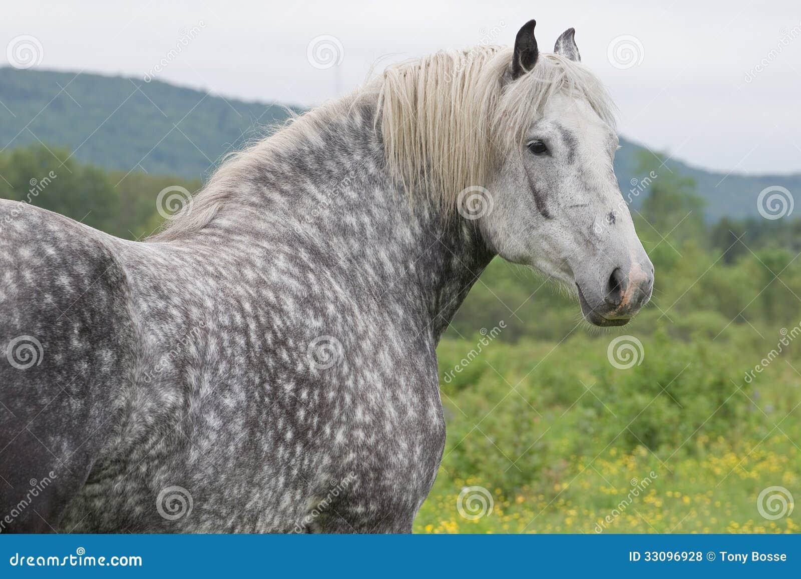 Black percheron horses