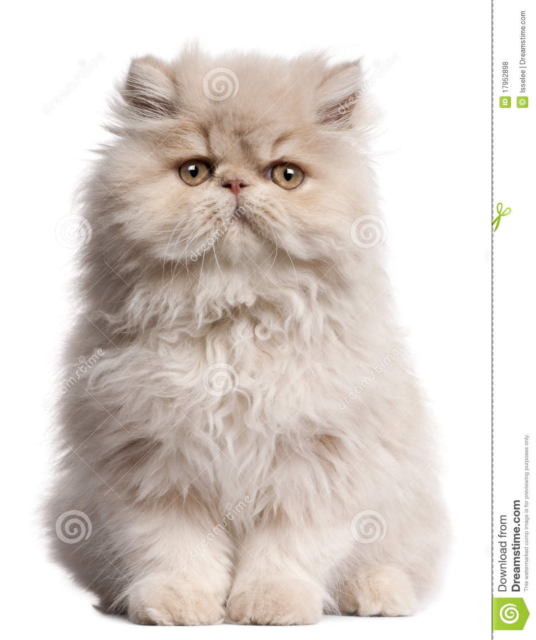 Young Persian Cat Sitting Royalty Free Stock Photos - Image: 17952898