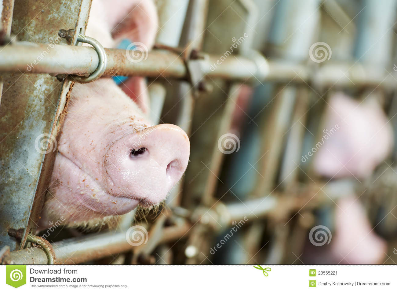 Young Pig In Shed Stock Image - Image: 29565221