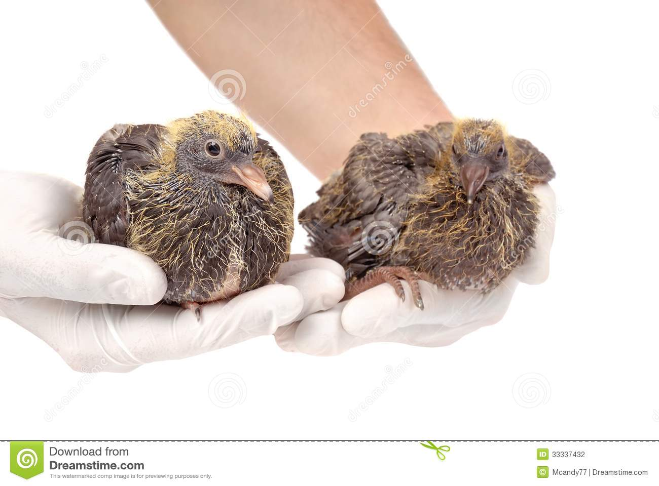 Young pigeons in hands of the veterinarian