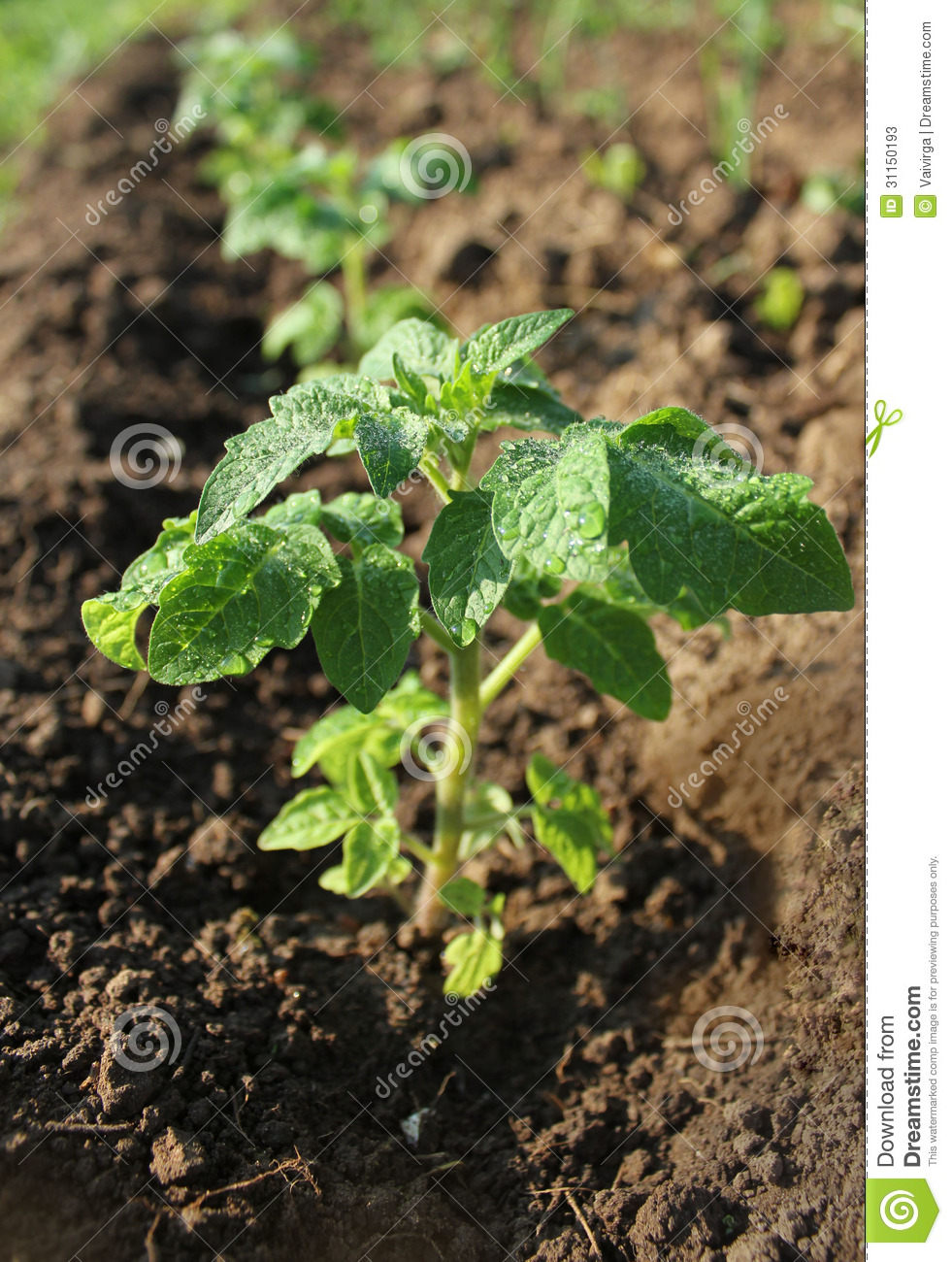 Young plant of tomato growing in the soil stock photos for Soil young s modulus