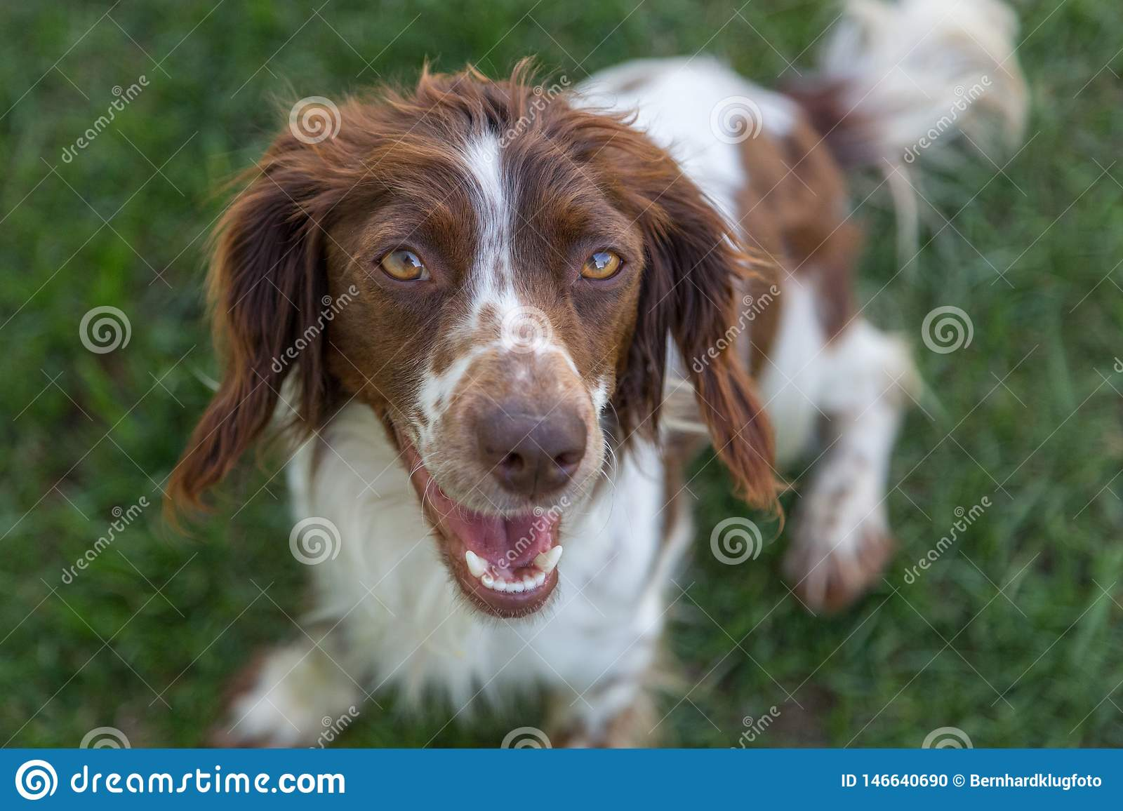 Young, playful springer spaniel excitedly waiting to play fetch