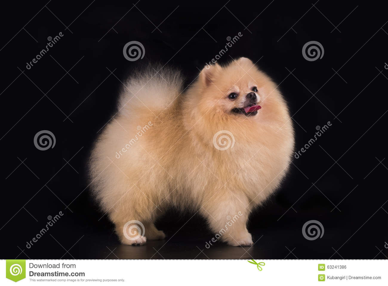 Young Pomeranian On Black Background Isolated Stock Photo Image Of