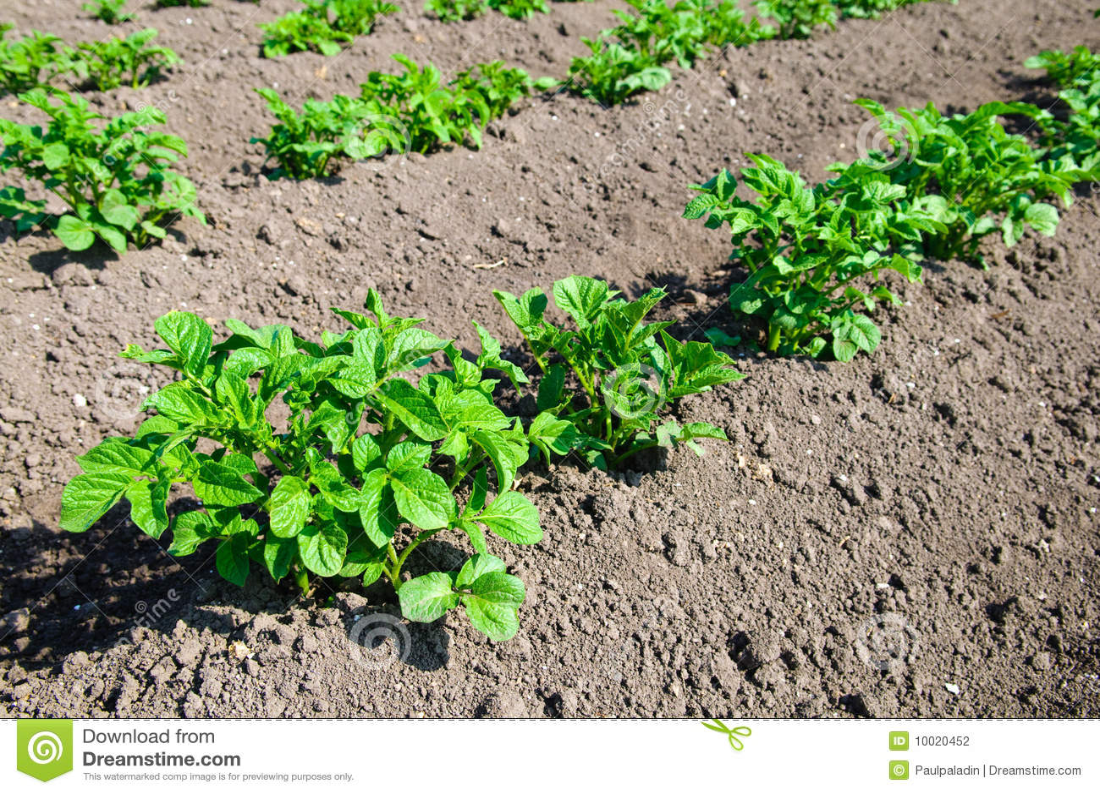 Young potato plants
