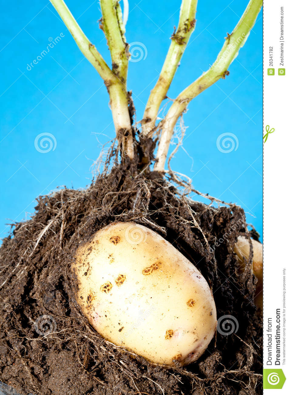 Young potato tubers in soil stock photography image for Soil young s modulus