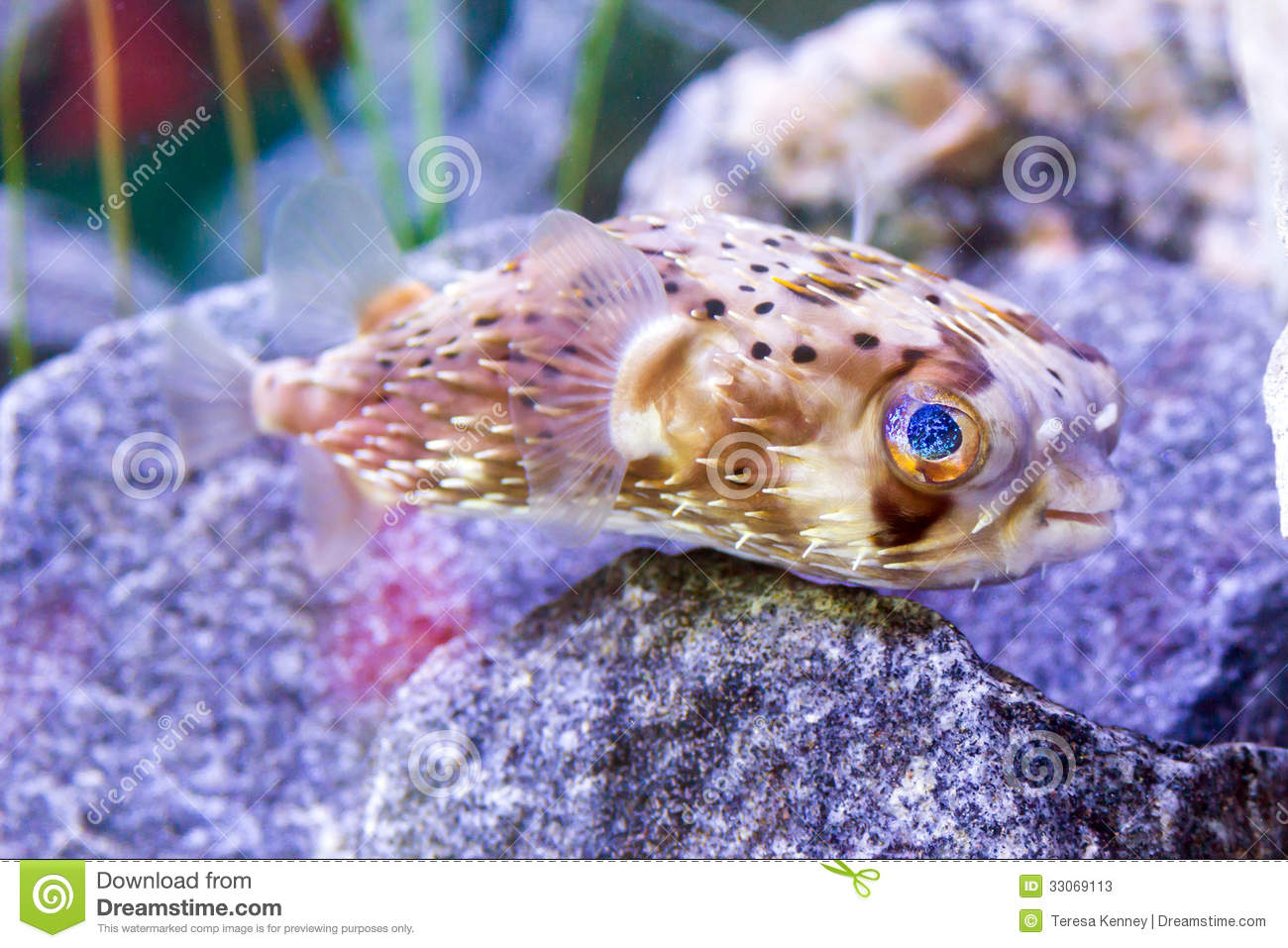 Young puffer fish stock photos image 33069113 for Puffer fish aquarium