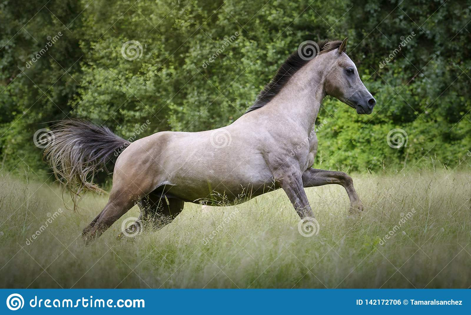 Young Purebred Arabian Horse Galloping Through The Grass In A Meadow With A Forest In The Background Stock Photo Image Of Joyful Gelding 142172706