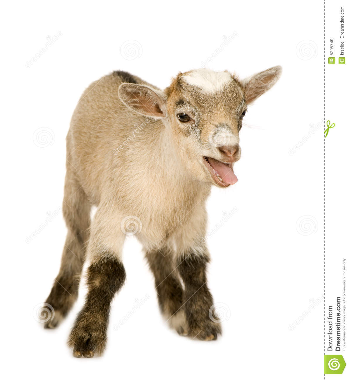 Young Pygmy Goat Royalty Free Stock Images - Image: 5205749